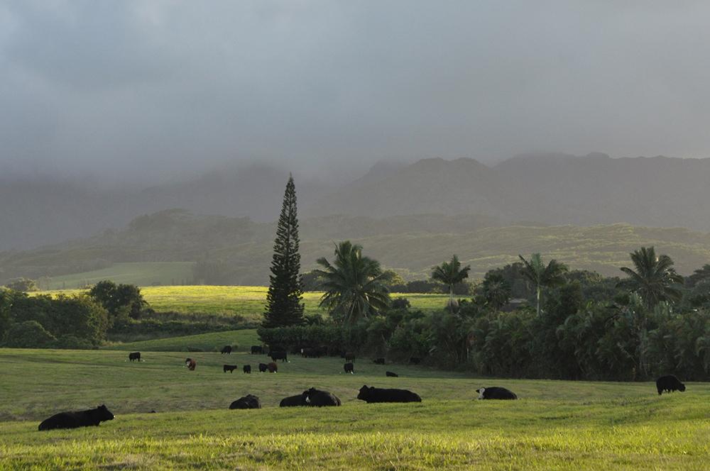 Pastures in Kauai
